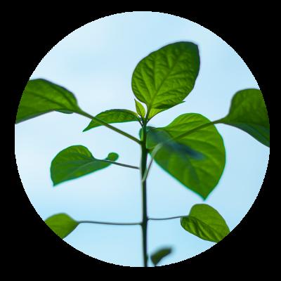 round-plant
